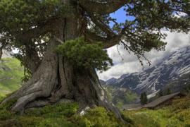 древо корни