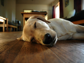 Спящий пес